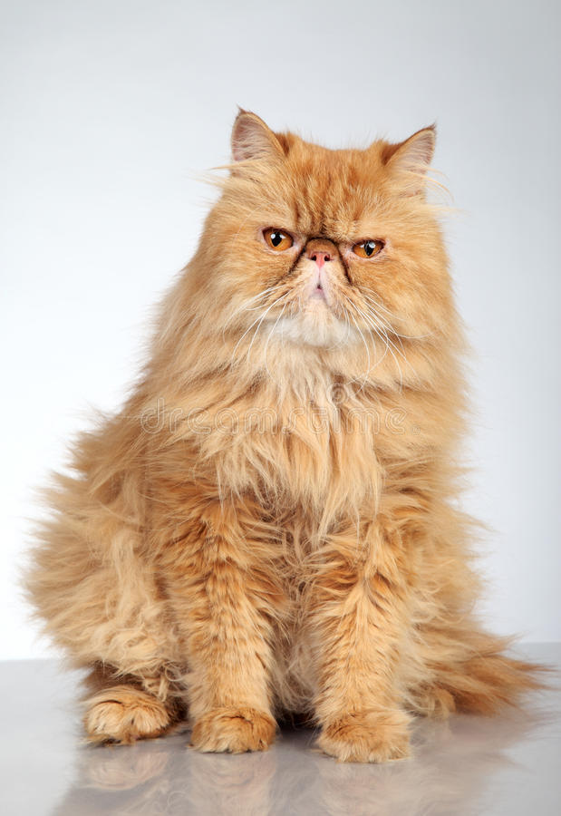 Download Ginger Persian cat stock photo. Image of orange, angry - 21370664