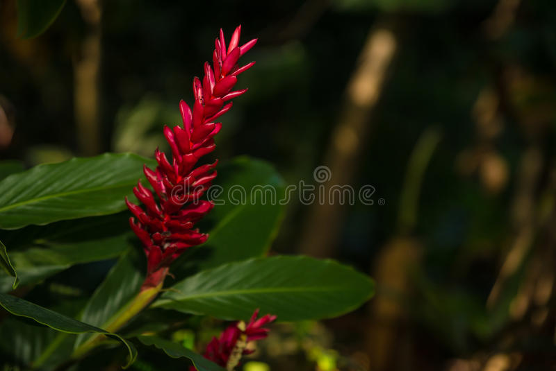 Ginger Plant havaiano imagem de stock royalty free