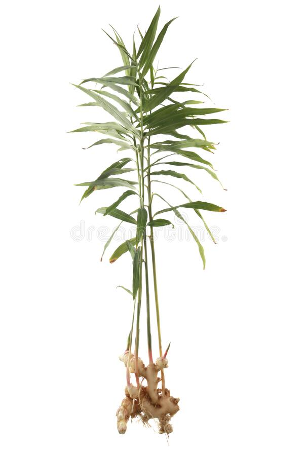 Free Ginger Plant, Root And Leaves, Freshly Harvested Stock Photography - 216478332