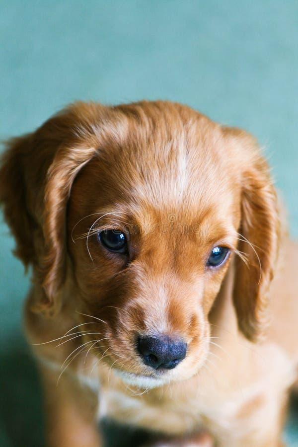 Ginger Puppy photo libre de droits