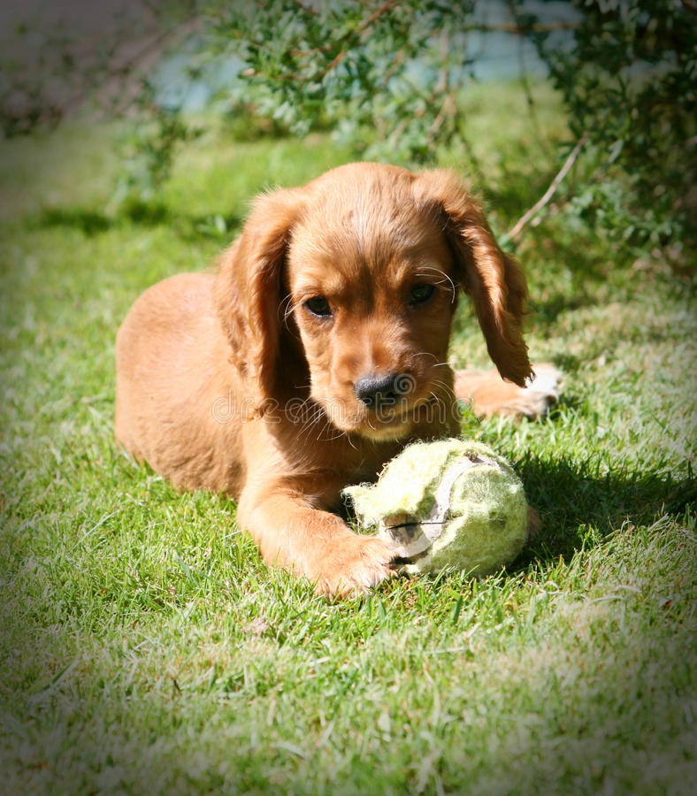 Ginger Puppy images stock