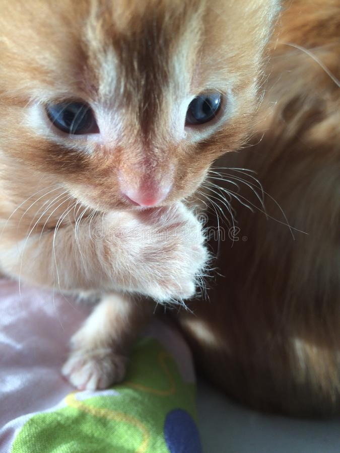 Ginger Ragamuffin arkivbild