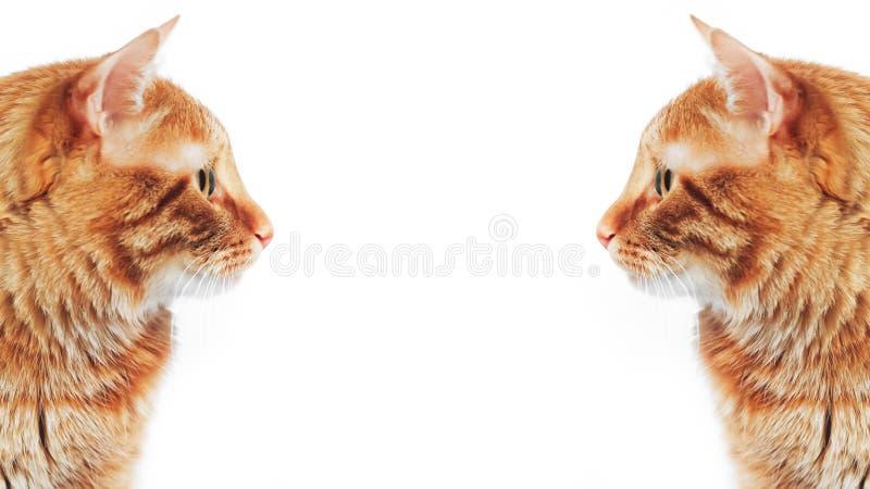 Ginger Red Cat lizenzfreie stockfotos