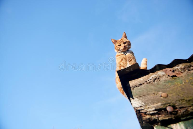 Ginger red cat sitting on a roof looking down at camera against a blue sky. stock photography