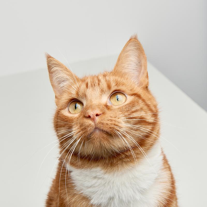 Ginger red tabby cat sitting on a whit table looking up off camera. royalty free stock photo