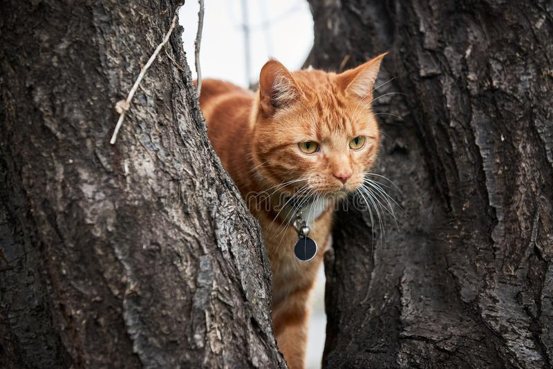 Ginger red tabby cat in a tree with long white whiskers up in a tree. royalty free stock images