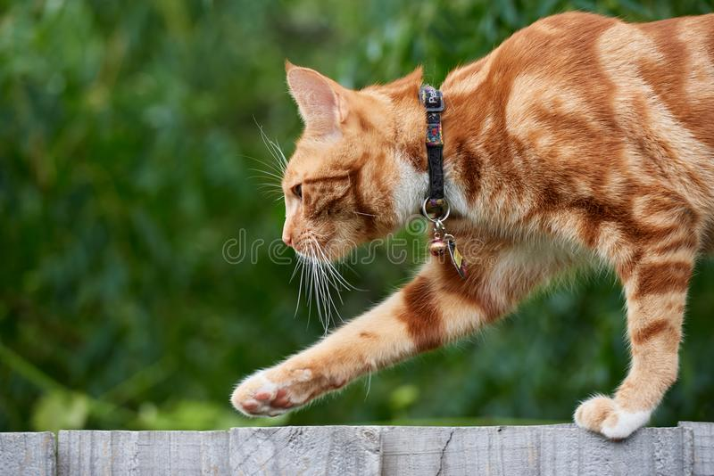 Ginger red tabby cat walking on top of a wooden fence with an out of focus green background royalty free stock image