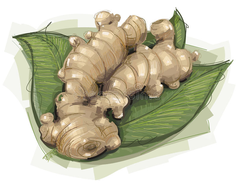 Ginger Root esboçado ilustração do vetor