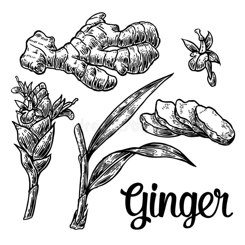 Ginger. Root, root cutting, leaves, flower buds, stems. Vintage retro vector illustration for herbs and spices set. vector illustration