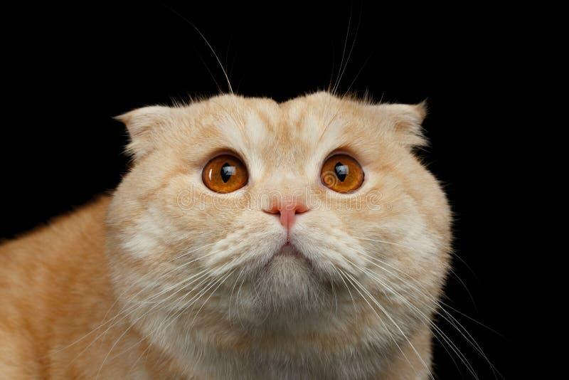 Ginger Scottish Fold Cat asustado primer aislado en negro foto de archivo
