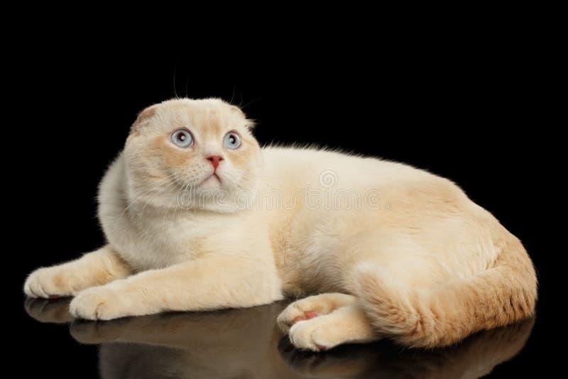 Ginger Scottish Fold Cat Lying och se upp isolerat på svart royaltyfria bilder