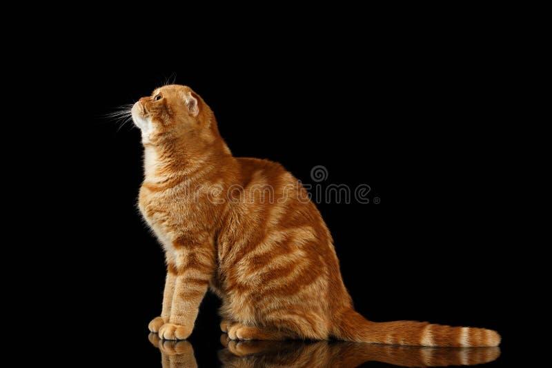 Ginger Scottish Fold Cat Sits e cercare isolato sul nero immagini stock libere da diritti
