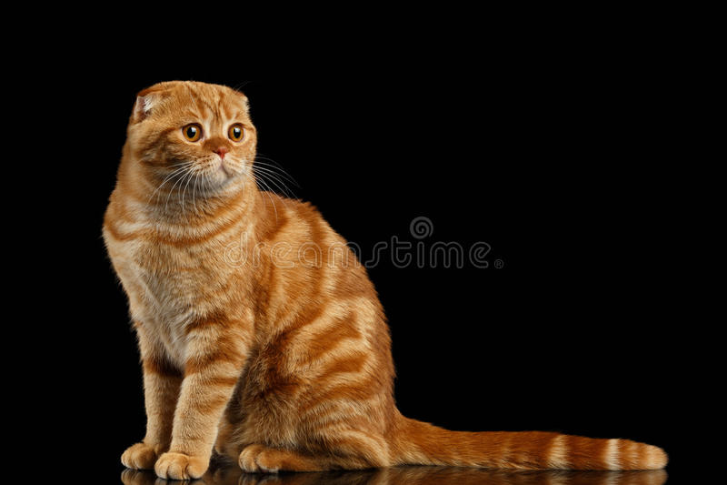 Ginger Scottish Fold Cat Sits et regarder la droite d'isolement sur le noir photographie stock libre de droits