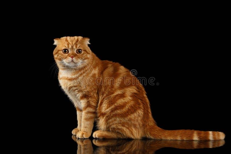 Ginger Scottish Fold Cat Sits och se in camera isolerat på svart royaltyfria foton