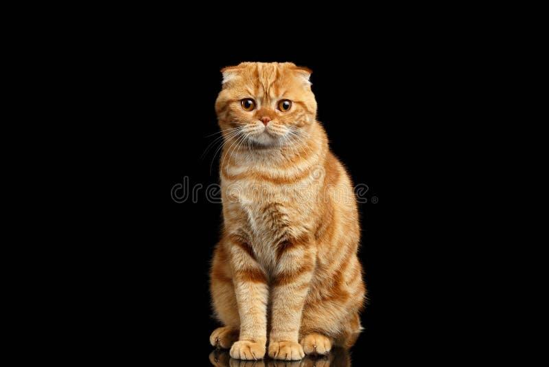 Ginger Scottish Fold Cat Sits och se in camera isolerat på svart arkivfoton