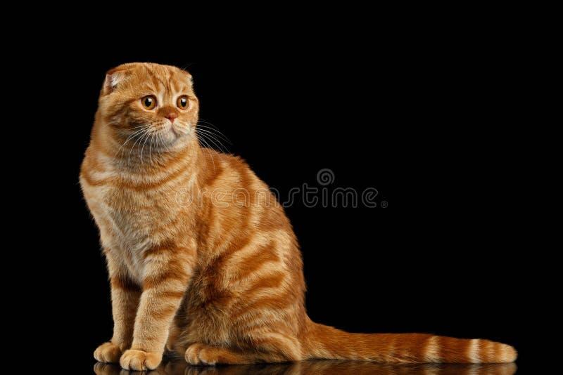 Ginger Scottish Fold Cat Sits och se rätten som isoleras på svart royaltyfri fotografi