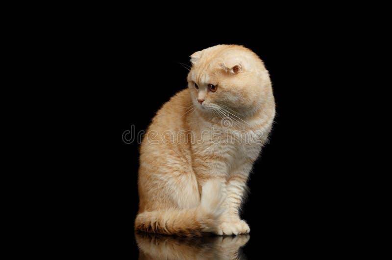 Ginger Scottish Fold Cat Sits och se vänstert som isoleras på svart arkivfoton