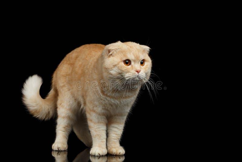 Ginger Scottish Fold Cat Walks isolerade på svart royaltyfria bilder