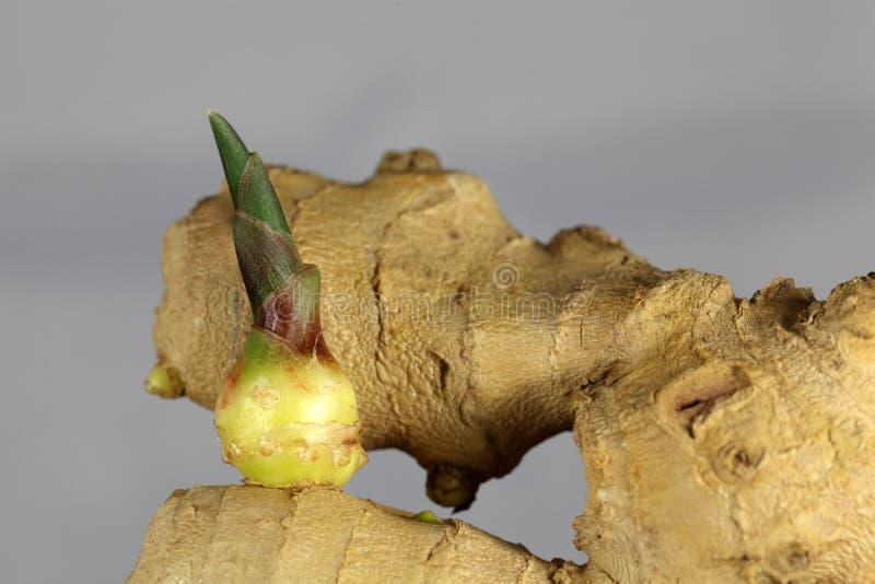 Ginger Seedling photos libres de droits