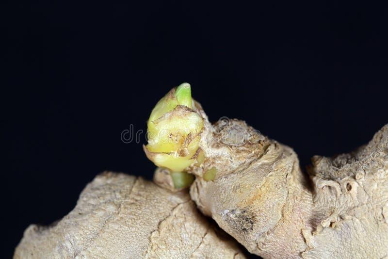 Ginger Seedling images stock