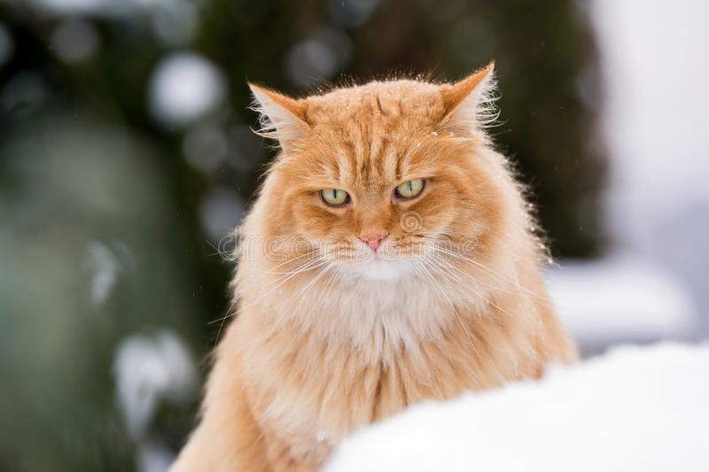 Ginger Siberian snowy cat. Portrait ginger Siberian snowy cat royalty free stock photography