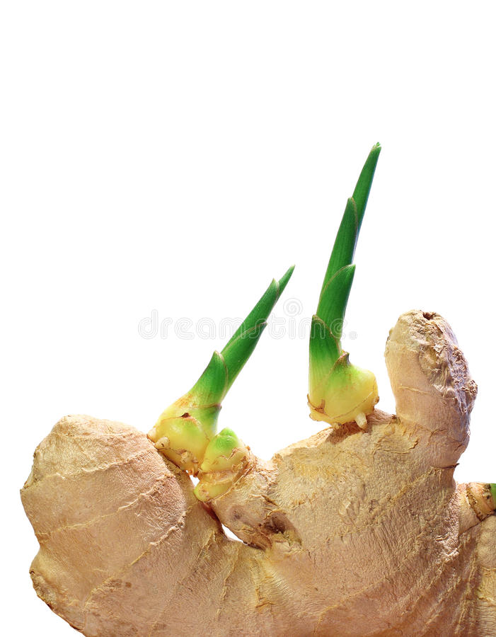 Ginger sprouts stock photography
