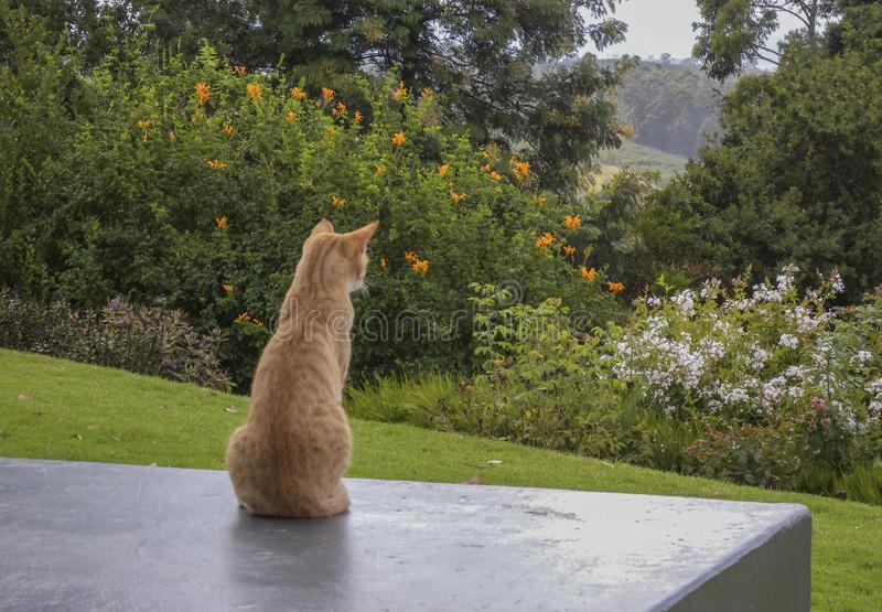 Ginger striped cat sitting upright on charcoal grey wall with back to camera stock images