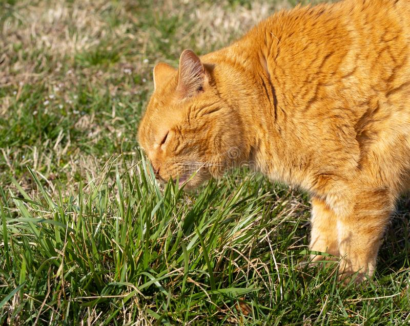 Ginger tabby cat eating grass outdoors, to induce vomit royalty free stock photography