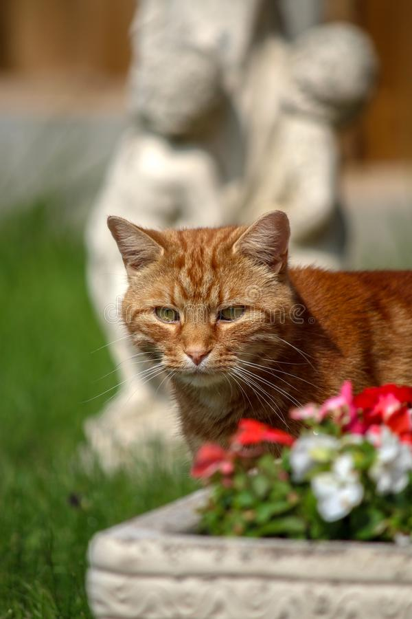 Ginger tabby cat stock photography