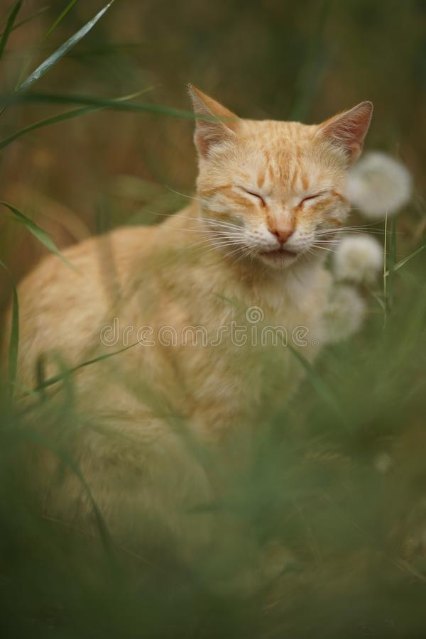Ginger tabby cat sitting in grass with fluffy dandelion flowers royalty free stock photos