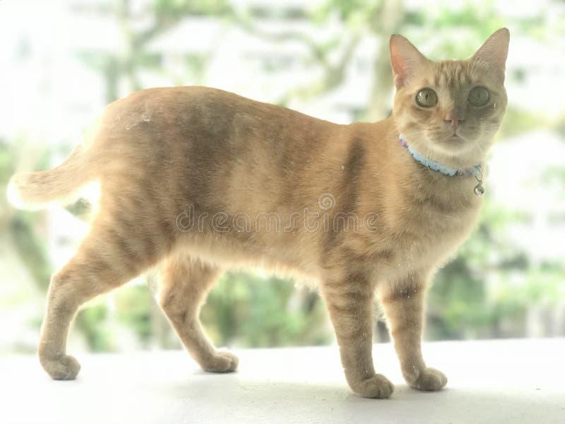 Ginger tabby cat royaltyfri bild
