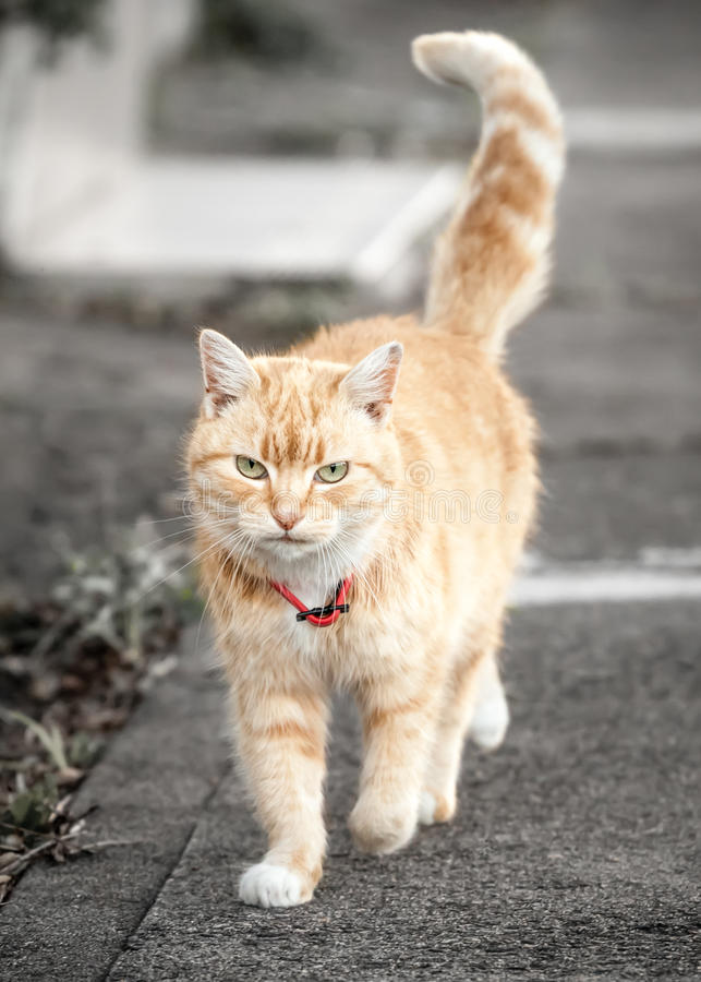 Ginger Tabby Cat Walking with Tail Up on Sidewalk royalty free stock photos