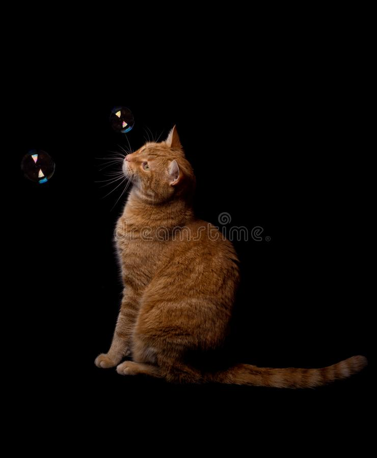 Ginger tabby cat watching soap bubbles floating in front of him stock photo