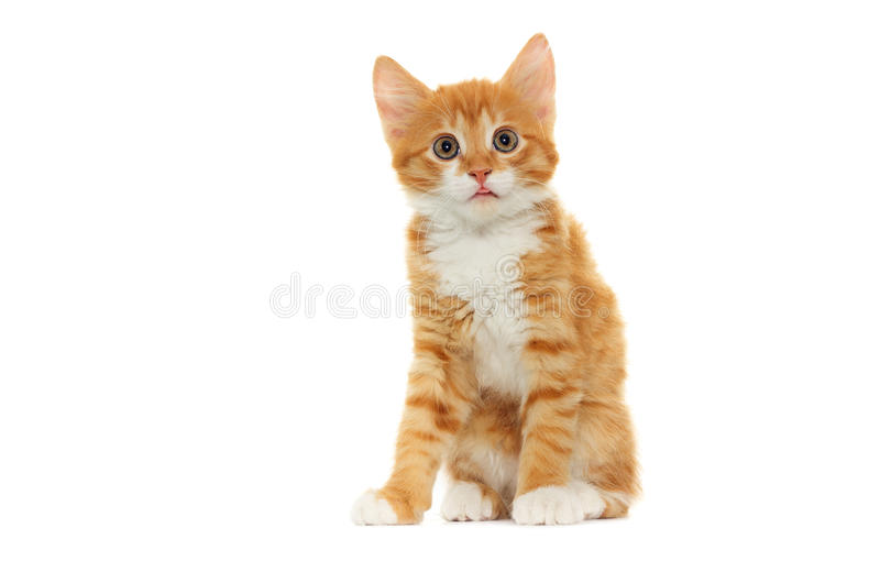 Ginger tabby kitten looking royalty free stock image