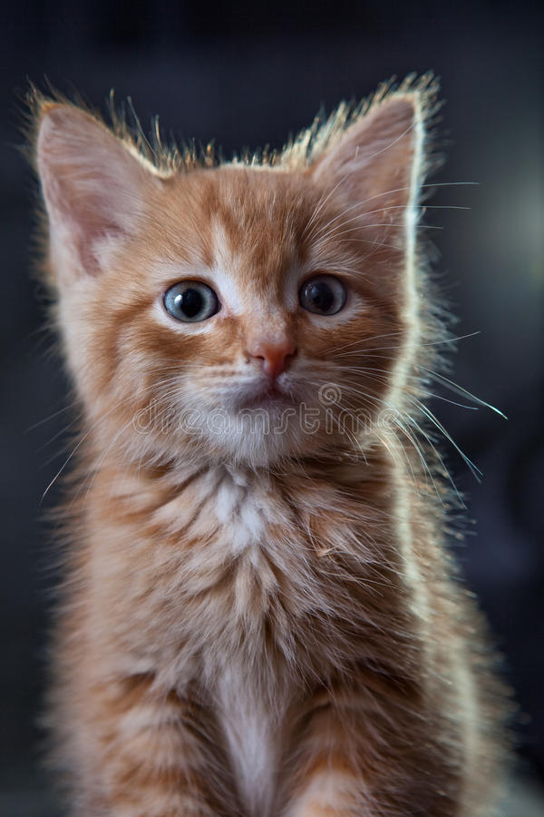 Ginger tiger-kitten royalty free stock photography