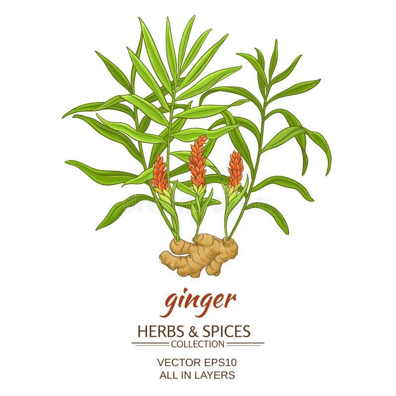 Ginger vector illustration royalty free illustration