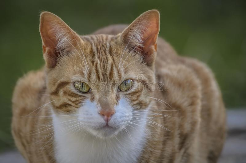 Ginger and white cat, with upright ears and big eyes, staring at camera. With green background and white chest and whiskers showing royalty free stock photos
