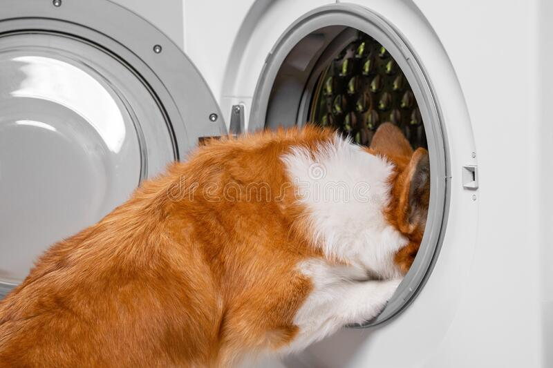 Ginger and white dog of welsh corgi pembroke uploads the washing machine or checking the linen inside. Humor concept of pet. Housekeeping at our home. Indoors royalty free stock photo