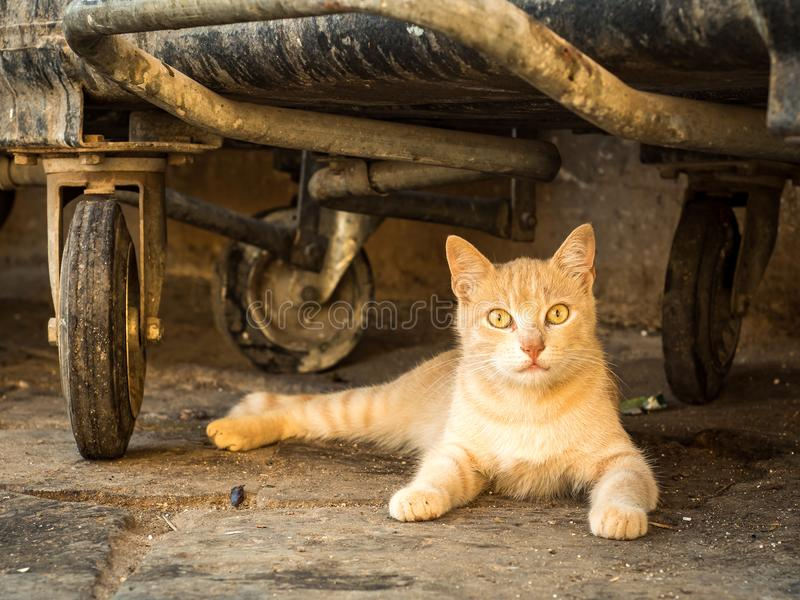 Wild ginger alley cat resting under rubbish bins. Ginger wild alley cat staring out from underneath rubbish bins on the streets of Palermo, Sicily. Italy stock photography