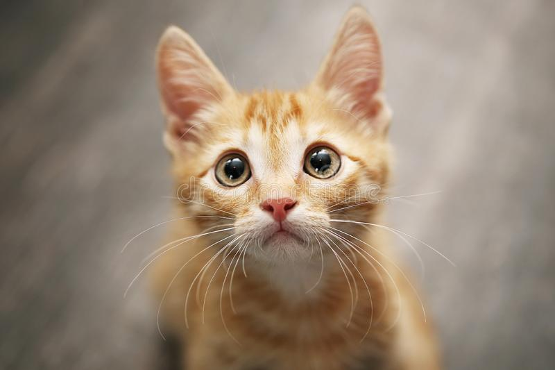 Ginger young domestic little cat. Funny Yellow eyed kitten with big eyes end a long mustache looking up. Cute furry red ginger young domestic little cat royalty free stock photos