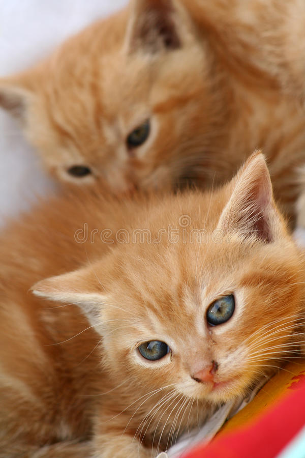 Gingery Kätzchen lizenzfreie stockbilder