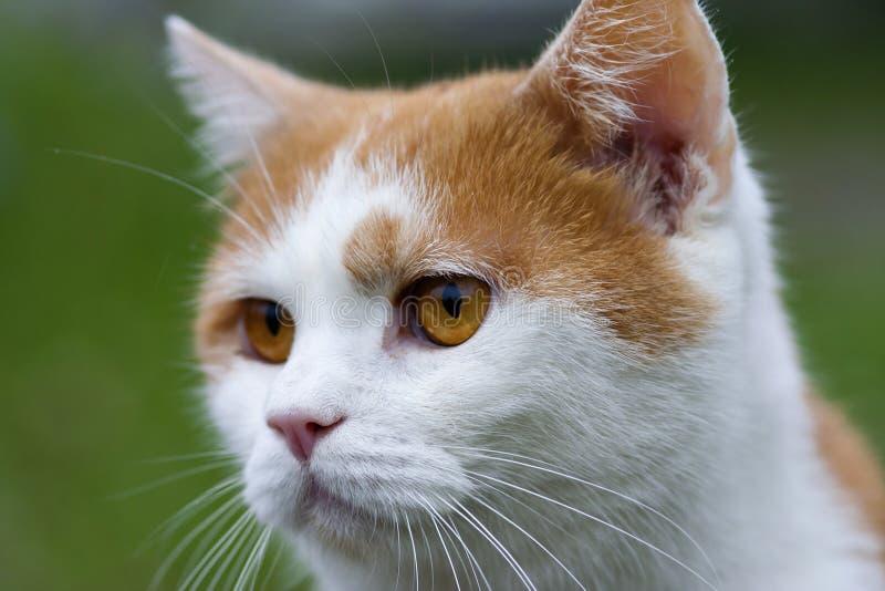 Gingery Katze lizenzfreie stockbilder