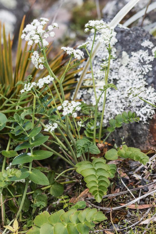 Gingidia montana commonly known as  Mountain carrot. Close-up image of Gingidia montana commonly known as  Mountain carrot royalty free stock images