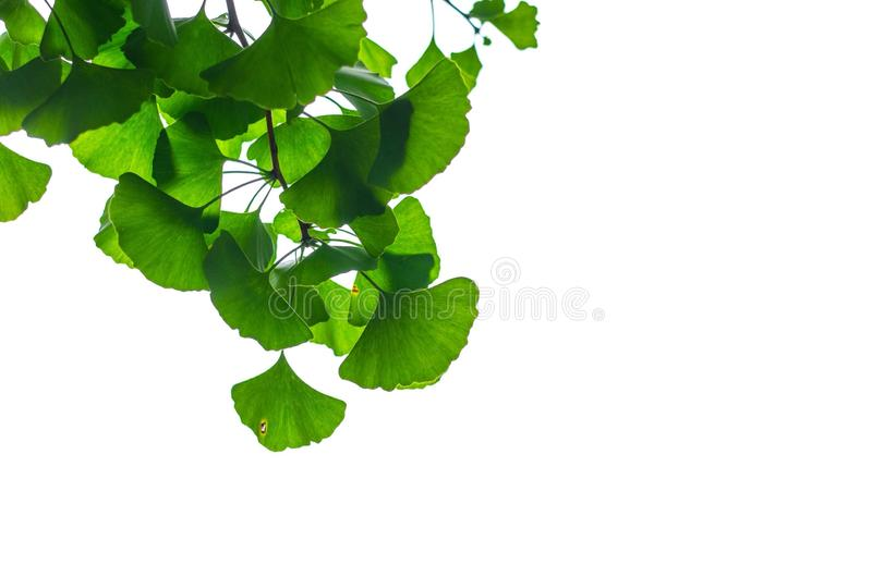 Gingko stock foto