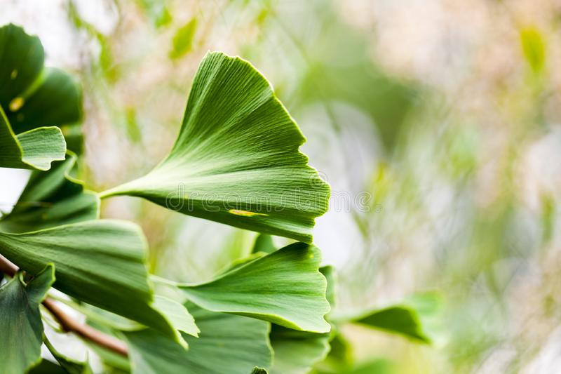 Gingko biloba - tree, leaves and details stock photo