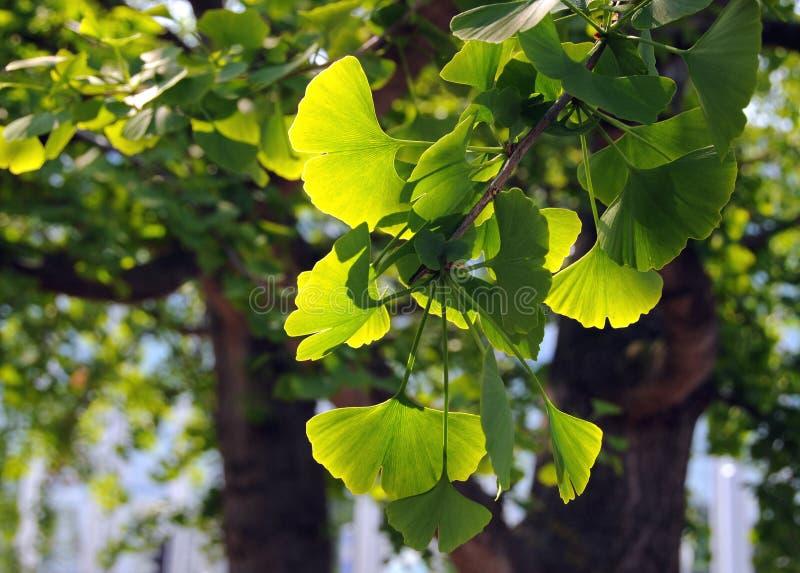 ginkgo ветви biloba стоковая фотография rf