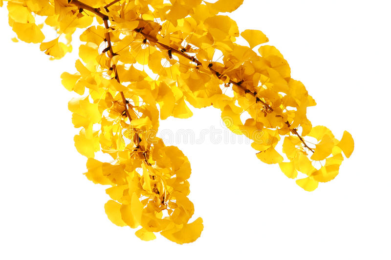 Ginkgo. Branches and leaves with white background stock photography