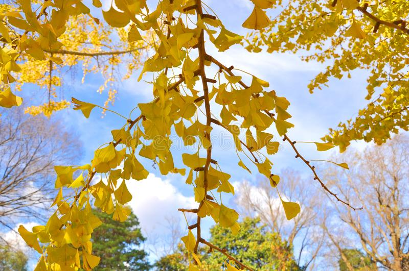 Ginkgo. Branches with yellow leaves in a blue sky background stock image