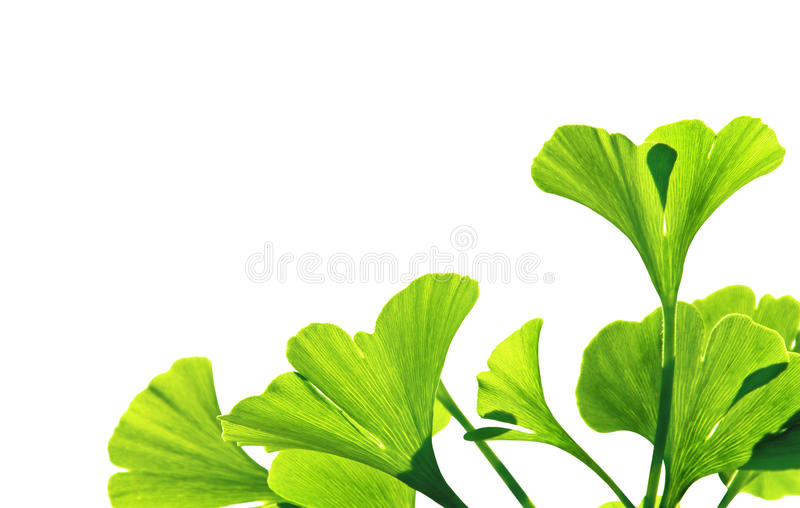 Ginkgo. Biloba green leaf isolated on white background. The ginko leafs is the symbol of Japanese tea ceremony.  is used to improve memory in alternative stock images