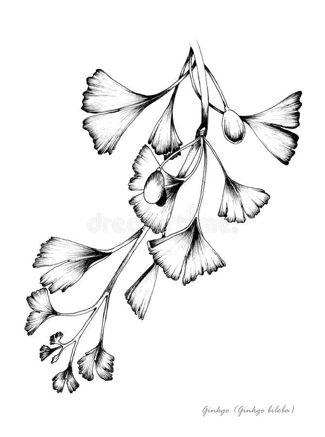 ginkgo stock illustrationer